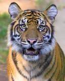 Hello Tiger!