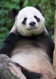 Resting Panda