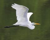 Egret Flight over Water