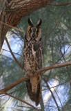 Long-eared Owl Mercy Hot Springs
