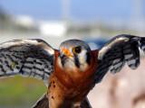 Kestrel Wings