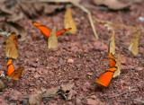 Eueides Butterfly