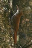 Scaled Woodcreeper