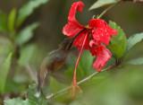 Reddish Hermit