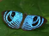 Semomesia capanaea