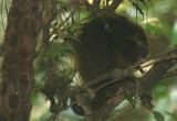 South American Tree Porcupine
