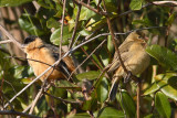 Black-and-tawny Seedeater
