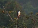 White-browed Hawk