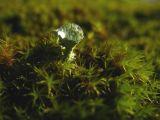 Cladonia Goblet