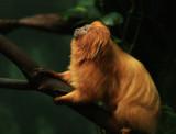Pygmy Marmocet