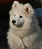 Ani, 4 month old Samoyed pup
