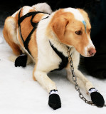 1harnessed and booted.jpg
