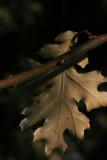 Last Year's Oak