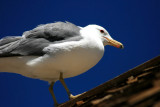 Bodie Seagull