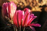 1Hedgehog Blooms.jpg