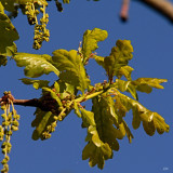 young oak leaves and things