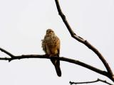Kestrel (Tornfalk), Falco tinnunculus