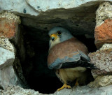 Lesser Kestrel (Rödfalk) Falco naumanni