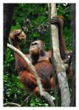 Borneo :: Bako : Nanga Sumpa : Kuching