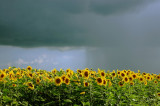 Sunflowers Rain and Sun