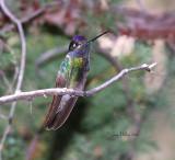 Hummingbirds of Arizona