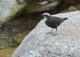 Witkopwaterspreeuw - White-capped Dipper - Cinclus leucocephalus