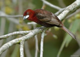 Fluweeltangare - Silver-beaked Tanager - Ramphocelus carbo