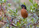 Zwartkeel-berghoningkruiper - Black-throated Flowerpiercer - Diglossa brunneiventris