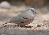 Peruaanse Steenduif - Croaking Ground-Dove - Columbina cruziana