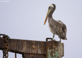 Chilipelikaan - Peruvian Pelican - Pelecanus thagus