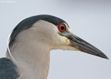 Kwak - Blackcrowned Night-heron - Nycticorax nycticorax