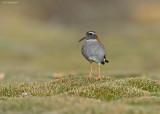 Diadeemplevier - Diademed Sandpiper-Plover - Phegornis mitchellii