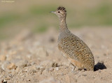 Pisacca-tinamoe - Ornate Tinamou - Nothoprocta ornate ornate