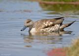 Gekuifde Eend - Crested Duck - Anas specularioides