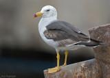 Simeonsmeeuw - Belcher's Gull - Larus belcheri