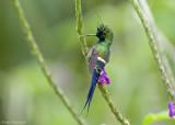 Gekuifde Draadkolibrie - Wire-crested Thorntail - Popelairia popelairii