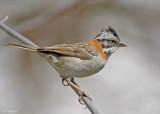 Roodkraaggors - Rufous-collared Sparrow - Zonotrichia capensis