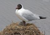 Andesmeeuw - Andean Gull - Larus serranus