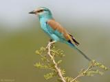 Sahel scharrelaar - Abyssinian Roller - Coracias abyssinica