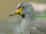 Lelkievit - Wattled plover - Vanellus senegallus