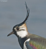 Kievit - Lapwing - Vanellus vanellus