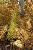 Autumn Ferns and Tree