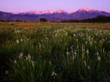 Wild Iris Under Mt. Tom
