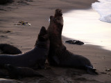 Northern Elephant Seals - San Simeon, California