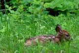 Newborn Fawn!