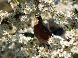 Robin in Spring