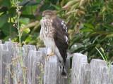 Hawk taking a nap.........zzzzzzzz