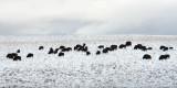 Buffalo of the Blackfoot Nation