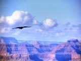Grand Canyon Crow