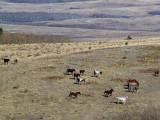 Blackfoot Ponys At Play